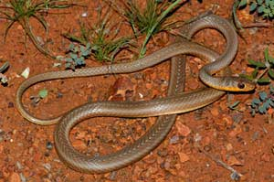 African Beaked Snake All About Snake Pictures